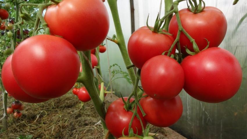 помидоры на грядке