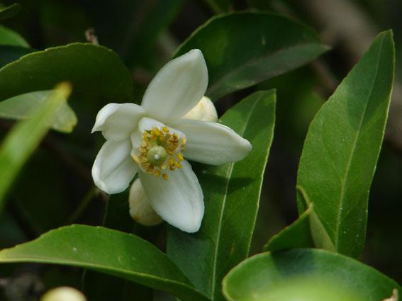 Главные цветы в парфюмерной индустрии - фото №4