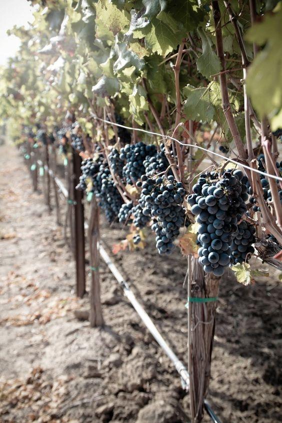 Все, что мы должны знать про виноград: чем полезен и кому противопоказан - фото №2