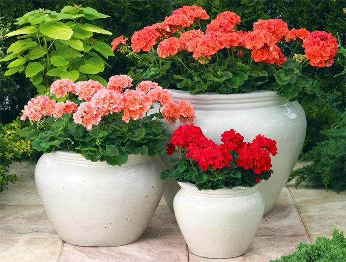 Какие растения нельзя держать дома: скрытая угроза здоровью - фото №5