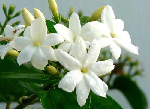 Главные цветы в парфюмерной индустрии - фото №3