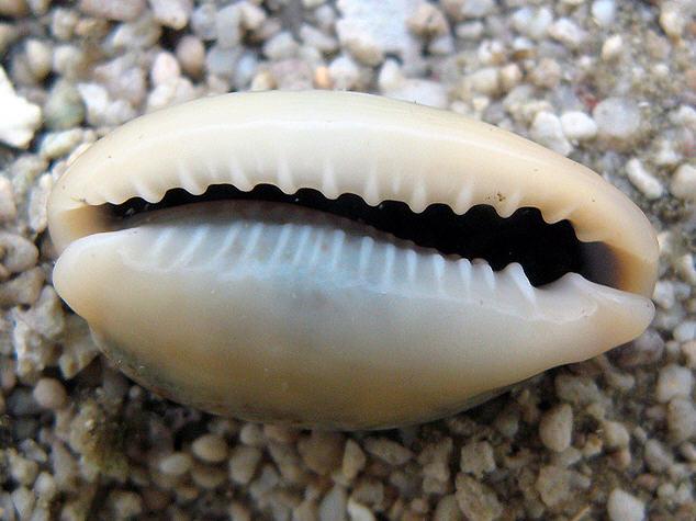 Морская ракушка: интересные факты - фото №2