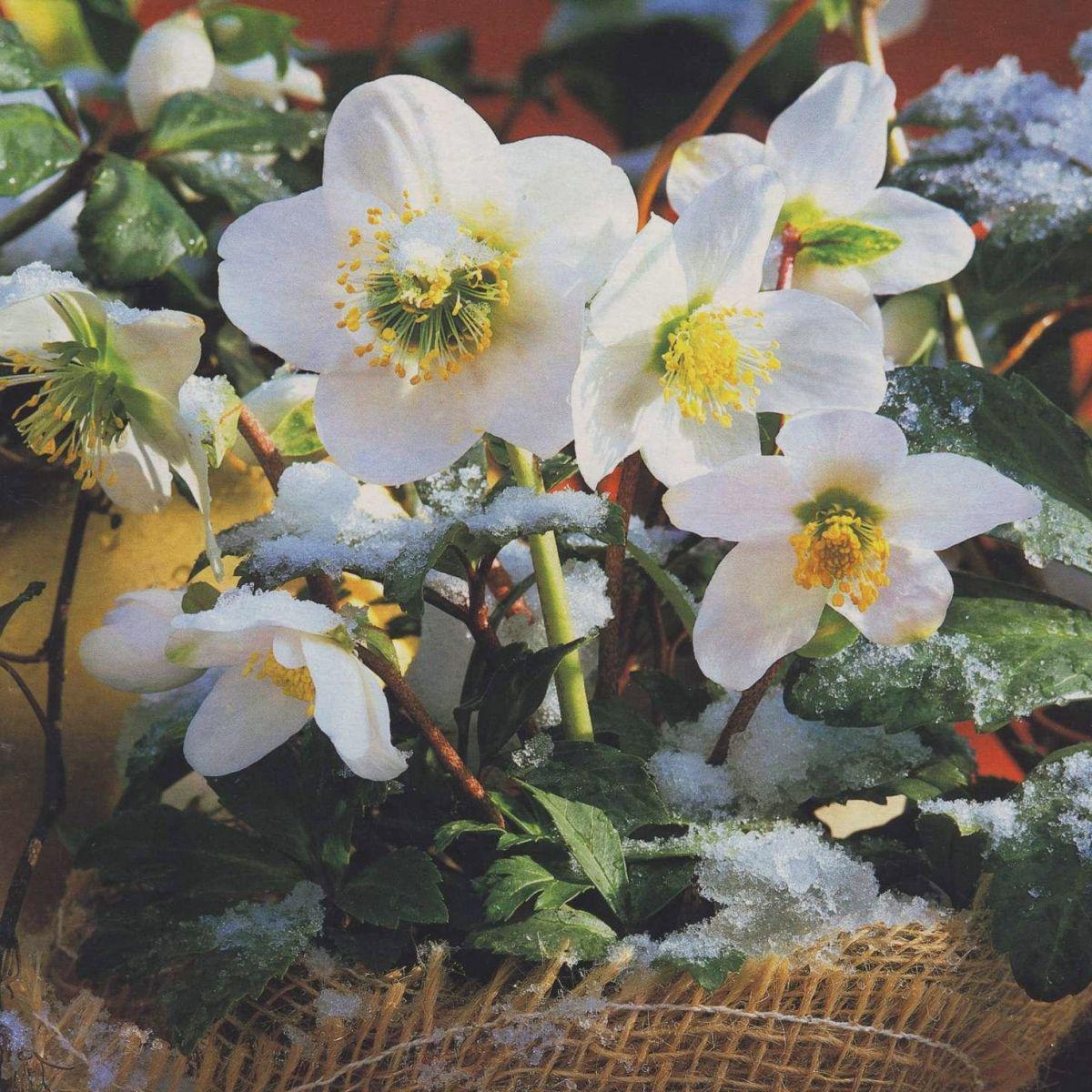 Какие цветы можно подарить на Новый год - фото №3