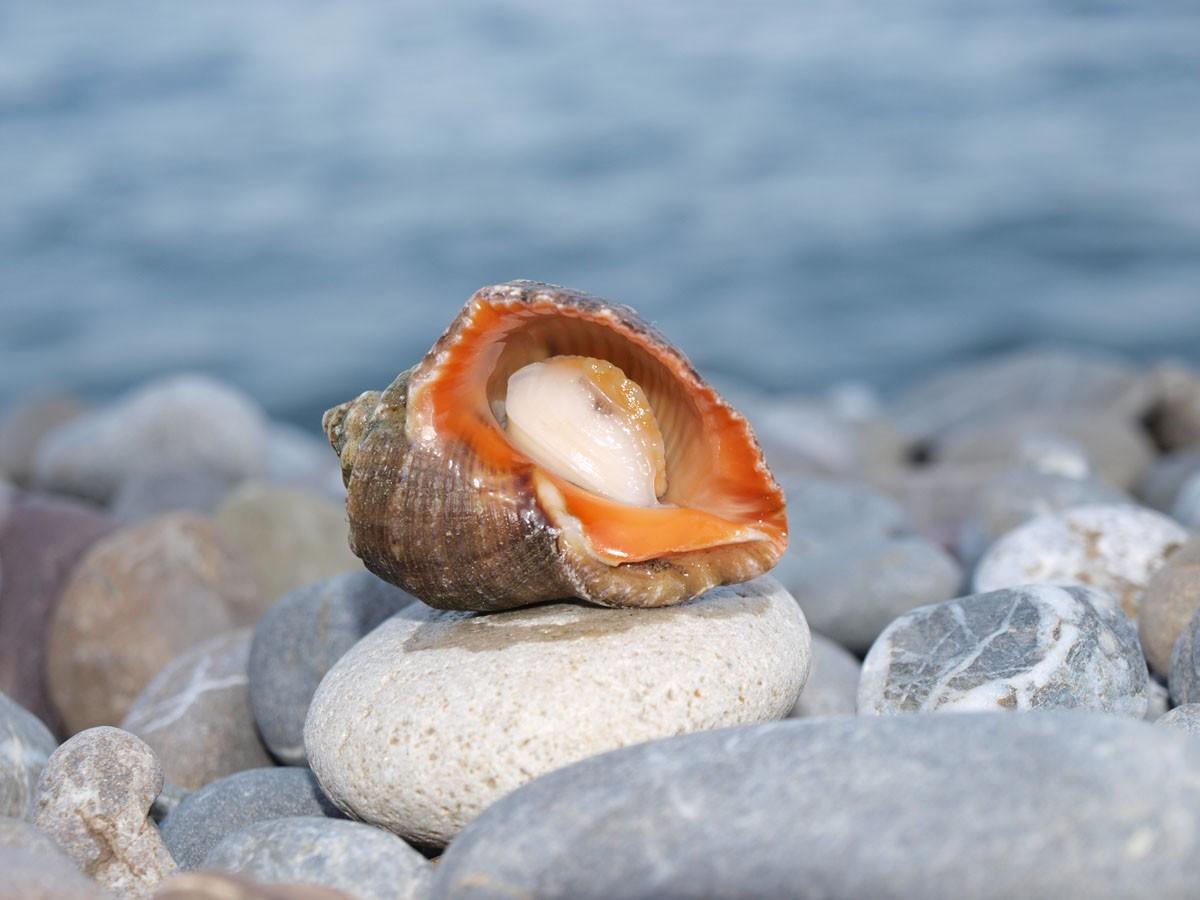 Морская ракушка: интересные факты - фото №1