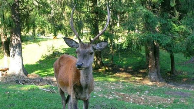где посмотреть на оленей в Карпатах