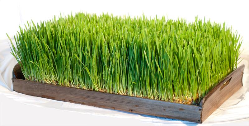 Пророщенная пшеница: как вырастить и употреблять - фото №2