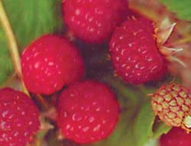 Razzberry Daiquiri
