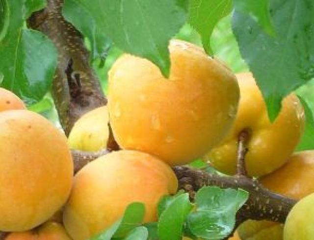 Приготовление абрикосового сока