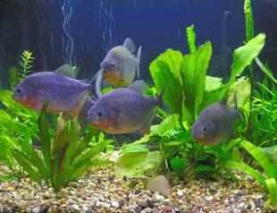 Как ухаживать за аквариумными обитателями?