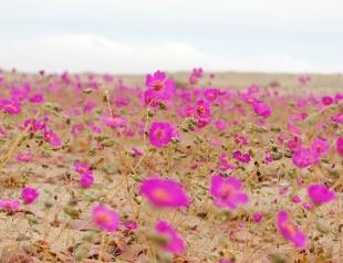 В Чили зацвела самая сухая пустыня в мире!