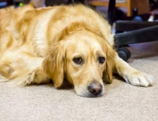 """Собака """"заплакала"""" во время трогательной сцены из мультфильма """"Король Лев"""" (ВИДЕО)"""