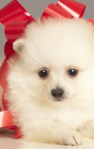 Новогодний подарок с хвостом: стоит ли дарить собаку?