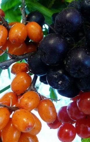 Последние ягоды осени: сбор и заготовка