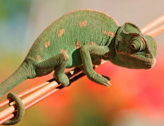 Экзотические животные в доме: рептилии