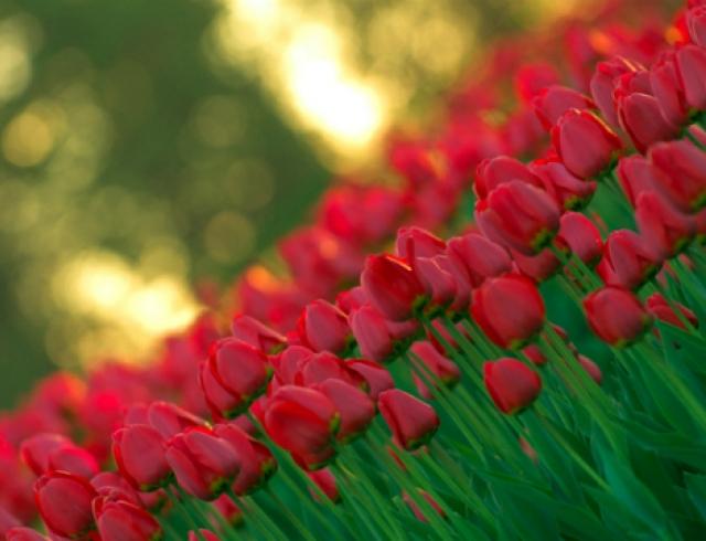 В конце апреля в Киеве откроется выставка тюльпанов