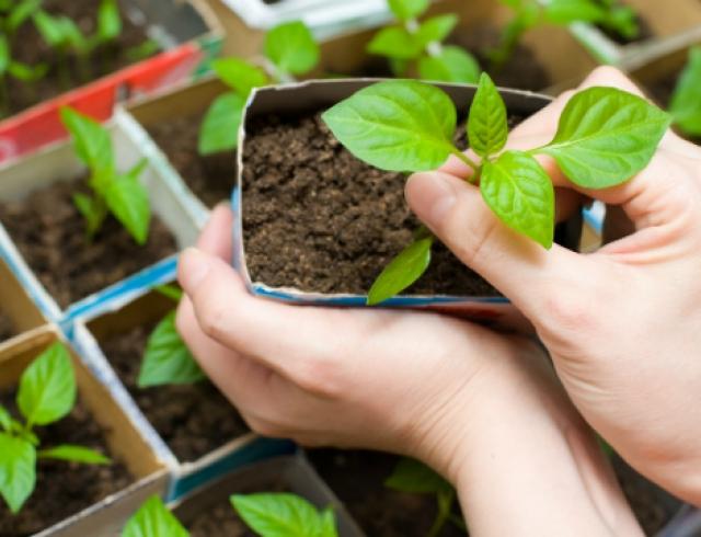 Как вырастить рассаду на подоконнике?